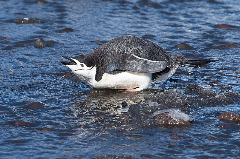 Chinstrap Penguin enjoying the melting snow at Baily Head, a prominent headland forming the easternmost extremity of Deception Island
