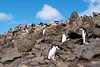 Chinstrap Penguins nesting in the rocks at Baily Head, a prominent headland forming the easternmost extremity of Deception Island