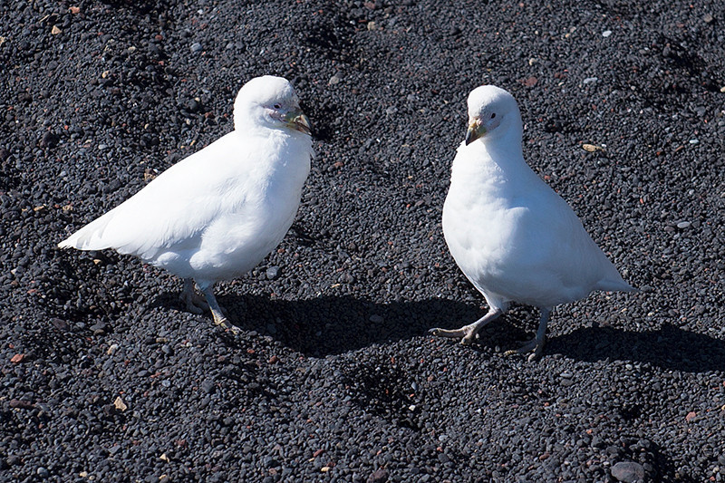 Snowy Sheathbill on the beach at Baily Head, a prominent headland forming the easternmost extremity of Deception Island