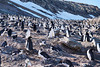 The main Chinstrap Penguin colony of more than 100,000 breeding pairs at Baily Head, a prominent headland forming the easternmost extremity of Deception Island. The Chinstrap Penquins lying on the ground are sitting on their nests, made of small rocks, built by the female and its male partner.