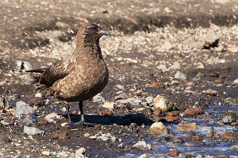 Brown Skua at Baily Head, a prominent headland forming the easternmost extremity of Deception Island