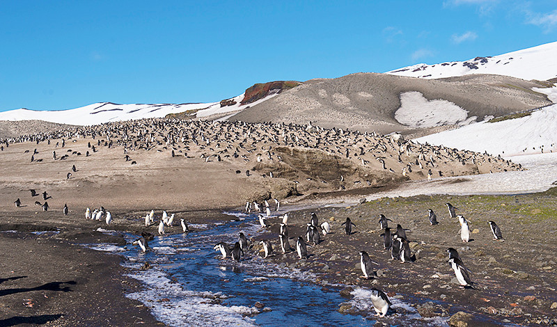 The main Chinstrap Penguin colony of more than 100,000 breeding pairs at Baily Head, a prominent headland forming the easternmost extremity of Deception Island. The Chinstrap Penquins are nesting all over the hills of the valley.
