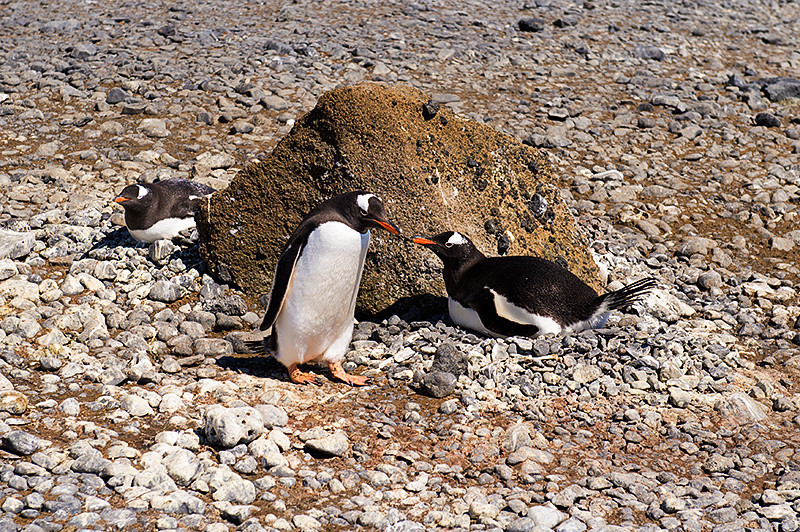 Three Gentoo Penguins, two on nests, on the beach, at Brown Bluff, Antarctica, a tuya located at the northern tip of the Antarctic Peninsula.
