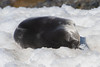 Young Weddell Seal resting in the snow, outside the rookery at Brown Bluff, Antarctica, a tuya located at the northern tip of the Antarctic Peninsula.