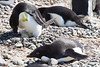 Adelie Penguin tending to hatching egg in one nest, while others lie on nests, at the rookery at Brown Bluff, Antarctica, a tuya located at the northern tip of the Antarctic Peninsula.