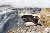 Gentoo Penguin at a solitary nesting outside the rookery at Brown Bluff, Antarctica, a tuya located at the northern tip of the Antarctic Peninsula.