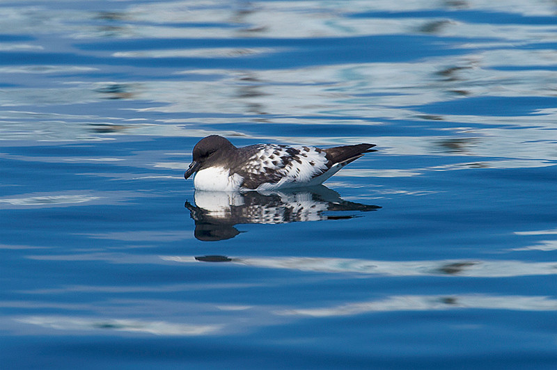 Cape Petrel swimming along the shore at Brown Bluff, Antarctica, a tuya located at the northern tip of the Antarctic Peninsula.