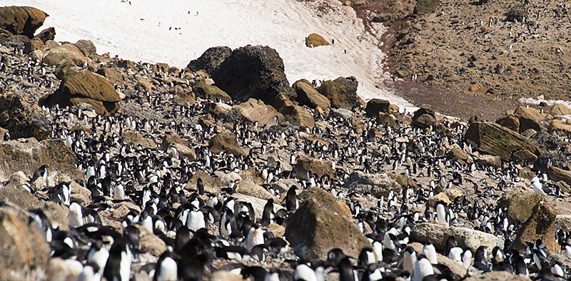 An overall view of the Brown Bluff rookery, estimated to have about 20,000 pairs of Adelie Penguins, as well as about 550 pairs of Gentoos Penguins on the beach and up the sides of Brown Bluff, a tuya located at the northern tip of the Antarctic Peninsula.