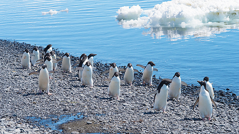 The Adelie Penguins march on along the beach at Brown Bluff, Antarctica, a tuya located at the northern tip of the Antarctic Peninsula.