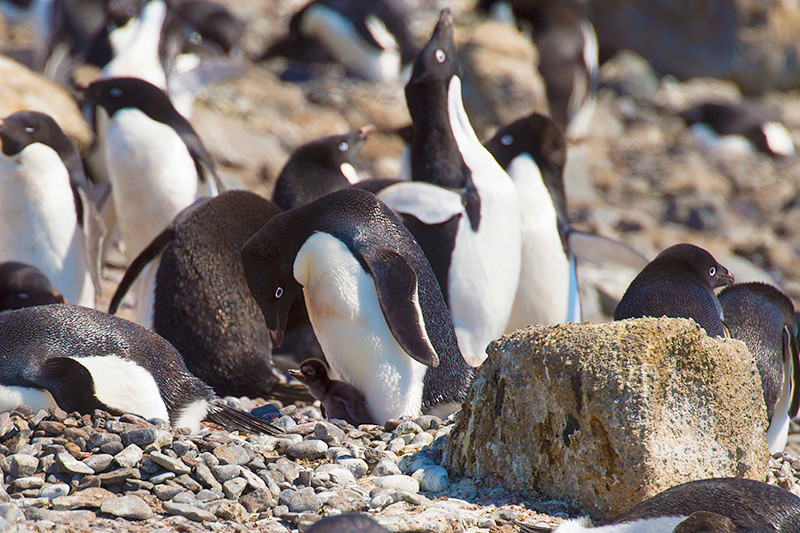 Adelie penguin with chick in center next to rock in the rookery at Brown Bluff, Antarctica, a tuya located at the northern tip of the Antarctic Peninsula. (The chick is all black.)