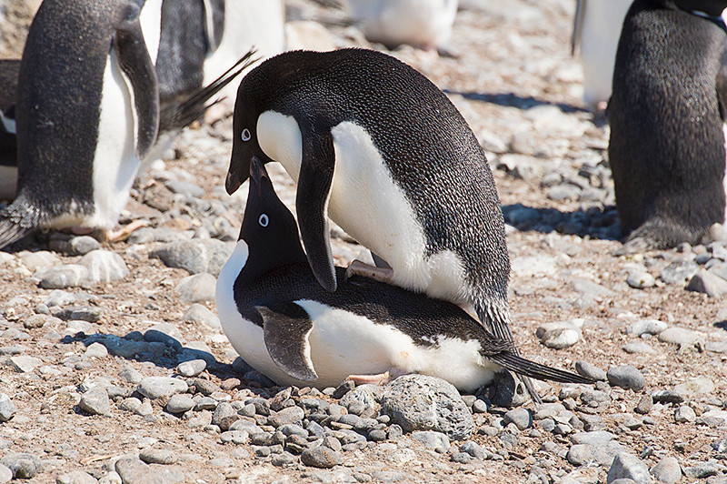 Two Adelie Penguin mating at the rookery at Brown Bluff, Antarctica, a tuya located at the northern tip of the Antarctic Peninsula.
