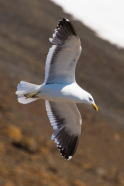 Kelp Gull flying over the Penguin rookery at Brown Bluff, Antarctica, a tuya located at the northern tip of the Antarctic Peninsula.