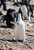 Adelie Penguin calling out at the rookery at Brown Bluff, Antarctica, a tuya located at the northern tip of the Antarctic Peninsula.