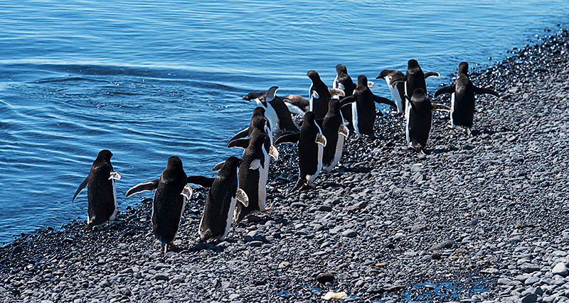 "The Adelie Penguin version of ""The March of the Penguins"" on the beach at Brown Bluff, Antarctica, a tuya located at the northern tip of the Antarctic Peninsula."