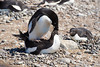 Adelie Penguin in mating ritual on nest in the beach rookery at Brown Bluff, Antarctica, a tuya located at the northern tip of the Antarctic Peninsula.