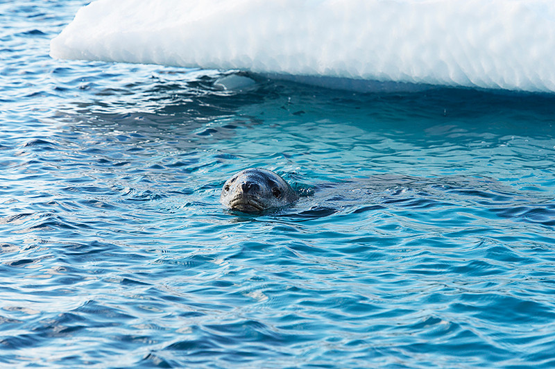 Leopard Seal at Cierva Cove, located at the far northern end of Hughes Bay, at the northern end of the Gerlache Strait