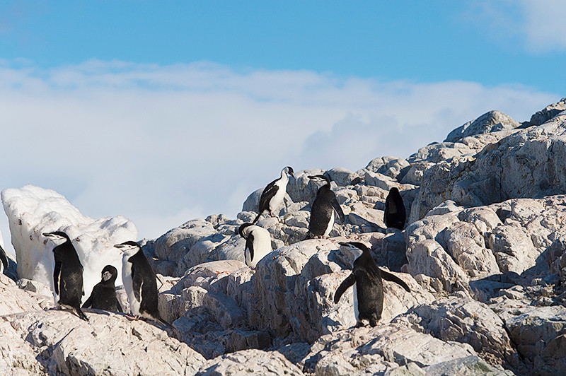 Imperial Shag among the Chinstrap Penguins in the Rookery at Cierva Cove, located at the far northern end of Hughes Bay, at the northern end of the Gerlache Strait