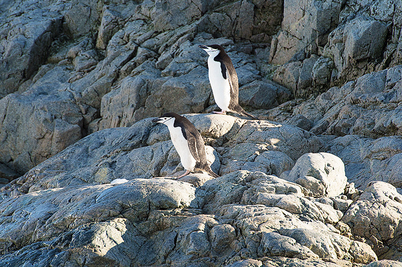 Two Chinstrap Penguins on the rocks at Cierva Cove, located at the far northern end of Hughes Bay, at the northern end of the Gerlache Strait