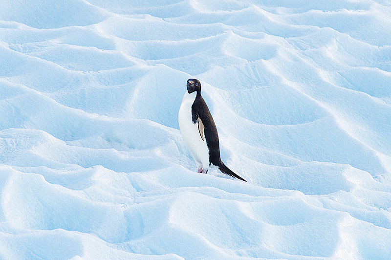 Adelie Penguin atop a small tabular iceberg at Cierva Cove, located at the far northern end of Hughes Bay, at the northern end of the Gerlache Strait