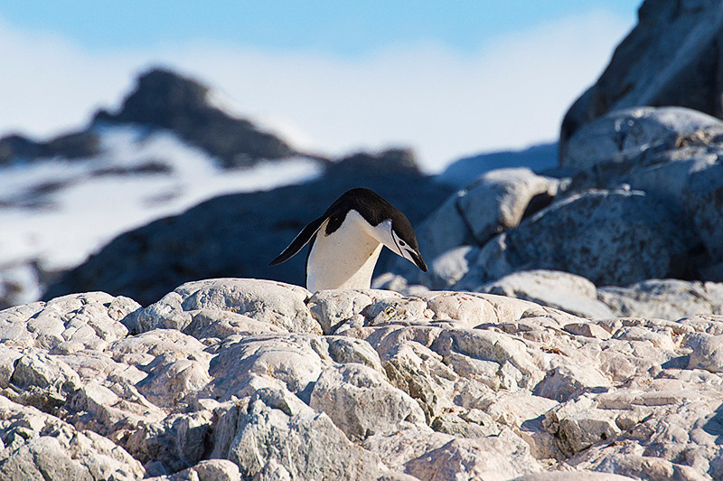Chinstrap Penguin at Cierva Cove, located at the far northern end of Hughes Bay, at the northern end of the Gerlache Strait