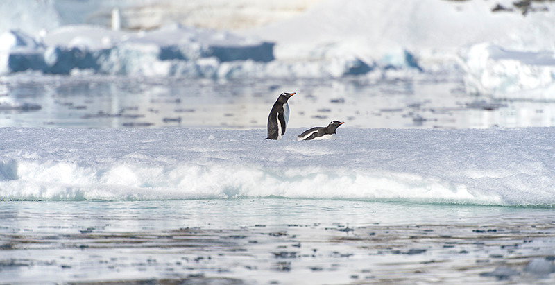 Two Gentoo Penguins on a small iceberg at Kinnes Cove at Joinville Island