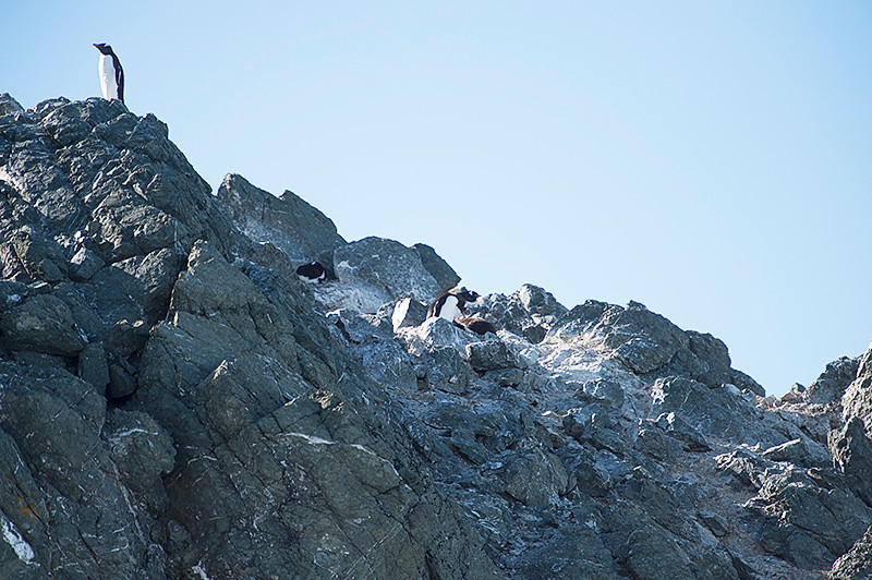 Small Gentoo Penguin Rookery on the rocks at Kinnes Cove at Joinville Island