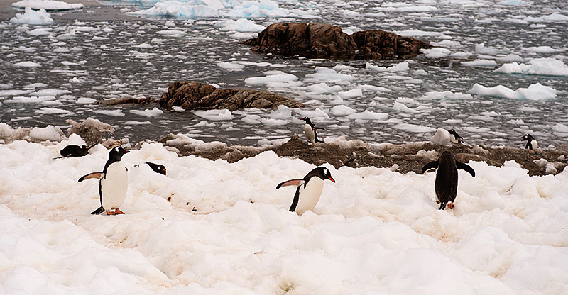 Gentoo Penguins in perpetual motion at Neko Harbor, an inlet on the Antarctic Peninsula on Andvord Bay, situated on the west coast of Graham Land.