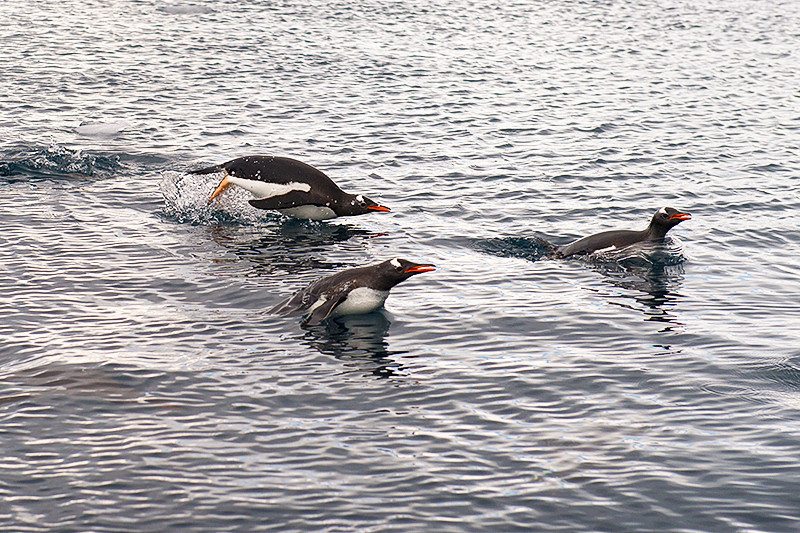 Three Gentoo Penguins swimming in Neko Harbor, an inlet on the Antarctic Peninsula on Andvord Bay, situated on the west coast of Graham Land.