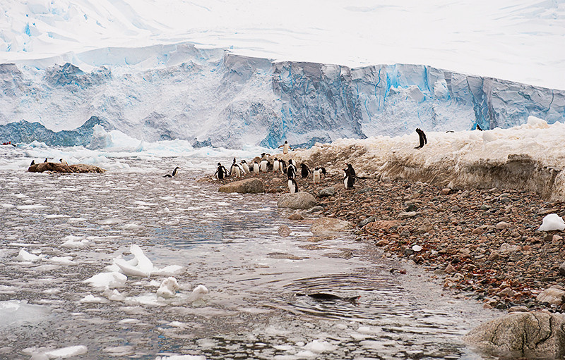 Gentoo Penguins at the water's edge at Neko Harbor, an inlet on the Antarctic Peninsula on Andvord Bay, situated on the west coast of Graham Land.