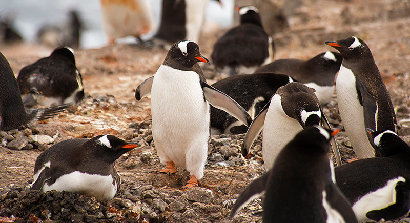 A Gentoo penguin rookery at Neko Harbor, an inlet on the Antarctic Peninsula on Andvord Bay, situated on the west coast of Graham Land.
