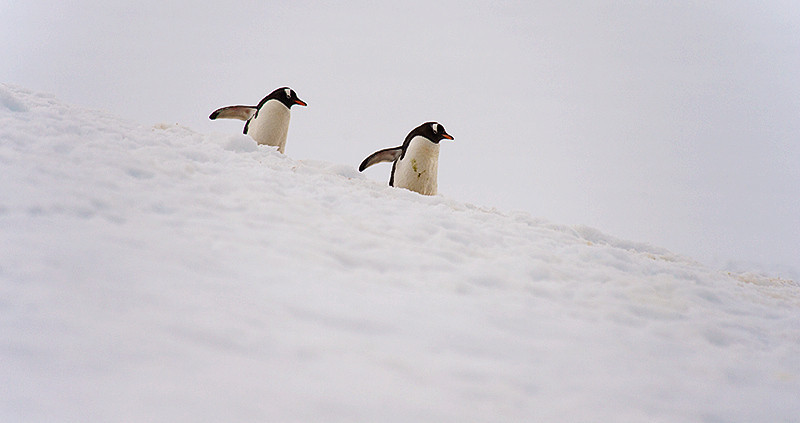 "A pair of Gentoo Penguins on a ""Penguin Highway"" at Neko Harbor, an inlet on the Antarctic Peninsula on Andvord Bay, situated on the west coast of Graham Land."