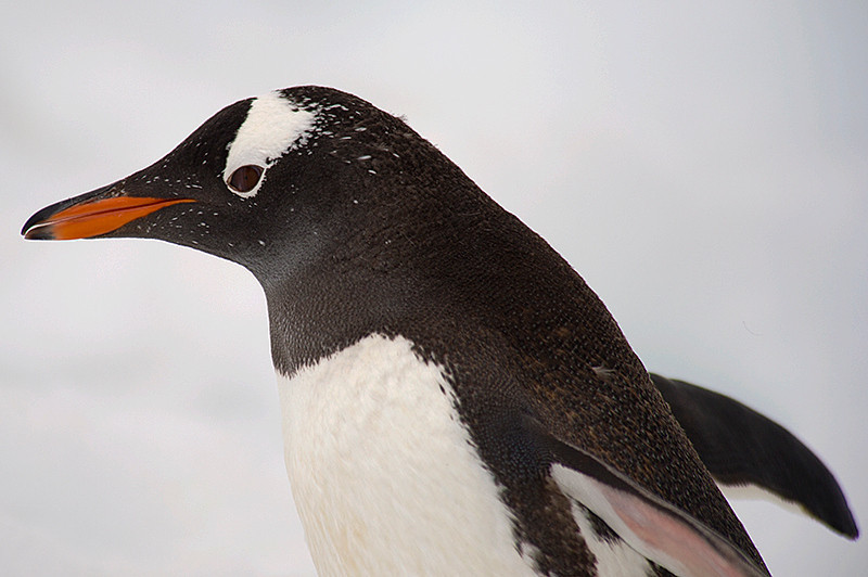 A Gentoo Penguin at Neko Harbor, an inlet on the Antarctic Peninsula on Andvord Bay, situated on the west coast of Graham Land.