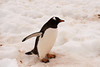Gentoo Penguin at Neko Harbor, an inlet on the Antarctic Peninsula on Andvord Bay, situated on the west coast of Graham Land.