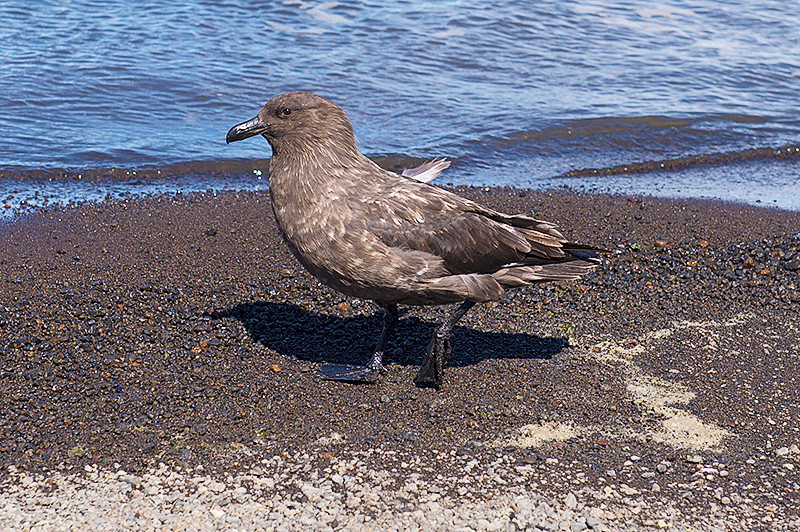 Brown Skua at Telefon Bay, a small bay in the northwest side of Port Foster, Deception Island, in the South Shetland Islands, surmounted by Telefon Ridge