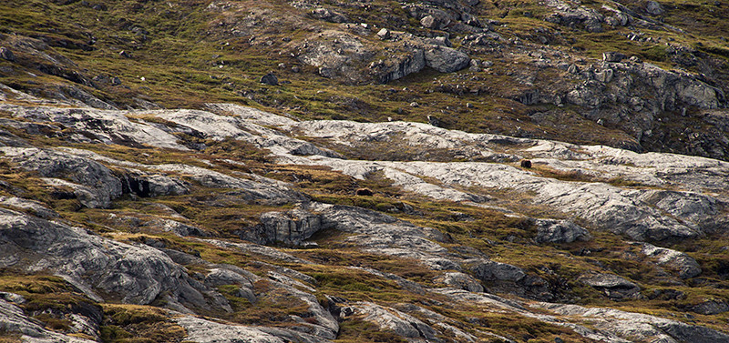 Two Muskox in the hills of Renodde, Scoresby Sund, Greenland