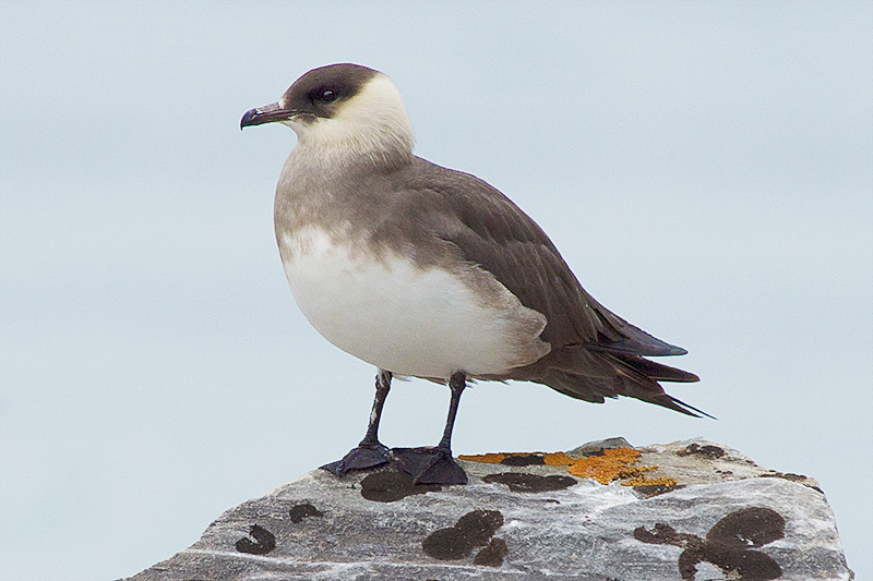 Arctic skua on the shore at the July 14th Glacier, Krossfjord, Svalbard