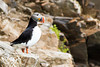 Atlantic Puffin on the cliffs at the July 14th Glacier, Krossfjord, Svalbard