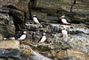 Atlantic Puffins on the cliffs at the July 14th Glacier, Krossfjord, SvalbardJuly 14th Glacier, Krossfjord, Svalbard
