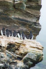 Brünnich's guillemots on the mountain ridges adjacent to the July 14th Glacier, Krossfjord, Svalbard