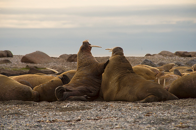 Adult female (left) and male (right) walrus in a little additional foreplay at Lagoya, Svalbard