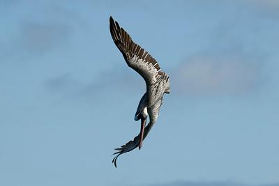 Galapagos Trip - Galapagos, Bachas Beach, Santa Cruz Island<br /> Brown Pelican