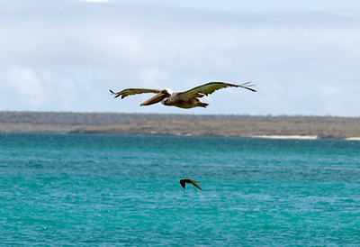 Galapagos Trip - Galapagos, Bachas Beach, Santa Cruz Island<br /> Brown Pelican with Great Frigate below