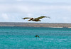 Galapagos Trip - Galapagos, Bachas Beach, Santa Cruz Island<br /> Brown Pelican with Great Frigate below