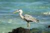 Galapagos Trip - Galapagos, Bachas Beach, Santa Cruz Island<br /> Great Blue Heron