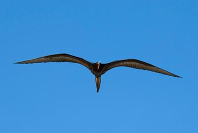 Galapagos Trip - Galapagos, Bachas Beach, Santa Cruz Island<br /> Magnificent Frigatebird, Fregata Magnificens