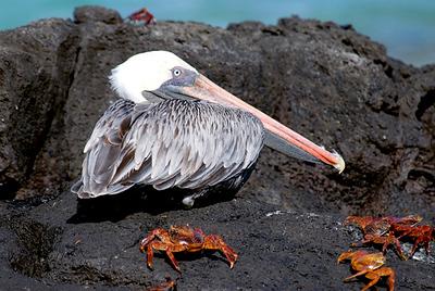Galapagos Trip - Galapagos, Bachas Beach, Santa Cruz Island<br /> Brown Pelican with Sally Lightfood Crabs