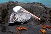 Galapagos Trip - Galapagos, Bachas Beach, Santa Cruz Island<br /> Brown Pelican with Sally Lightfood Crabs