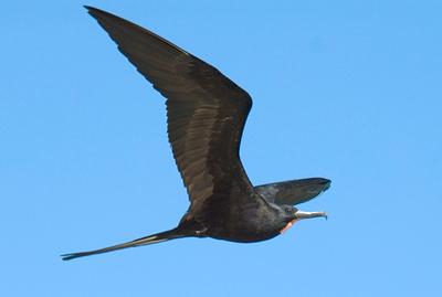 Galapagos Trip - Galapagos, Bachas Beach, Santa Cruz Island<br /> Great Frigatebird