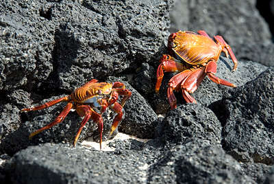 Galapagos Trip - Galapagos, Bachas Beach, Santa Cruz Island<br /> Sally Lightfoot Crabs