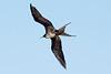 Galapagos Trip - Galapagos, Bachas Beach, Santa Cruz Island<br /> Great Frigatebird (Frigata Minor)